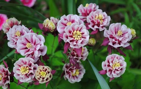 Аквилегия-цветок-Описание-особенности-виды-и-уход-за-аквилегией-33