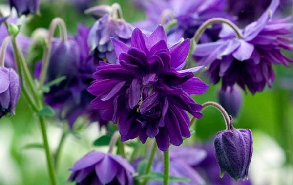 Аквилегия-цветок-Описание-особенности-виды-и-уход-за-аквилегией-34
