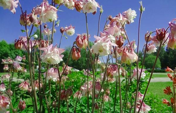 Аквилегия-цветок-Описание-особенности-виды-и-уход-за-аквилегией-37