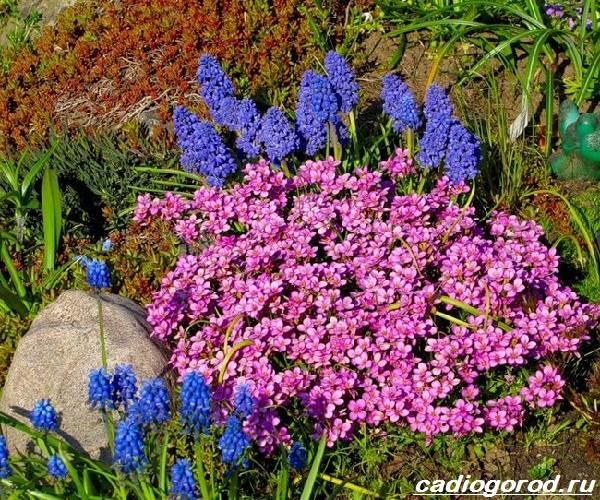 Арабис-цветок-Описание-особенности-виды-и-уход-за-арабисом-10