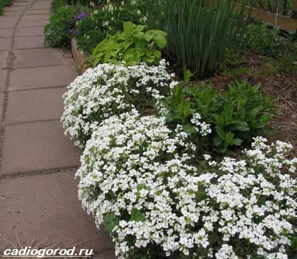 Арабис-цветок-Описание-особенности-виды-и-уход-за-арабисом-12