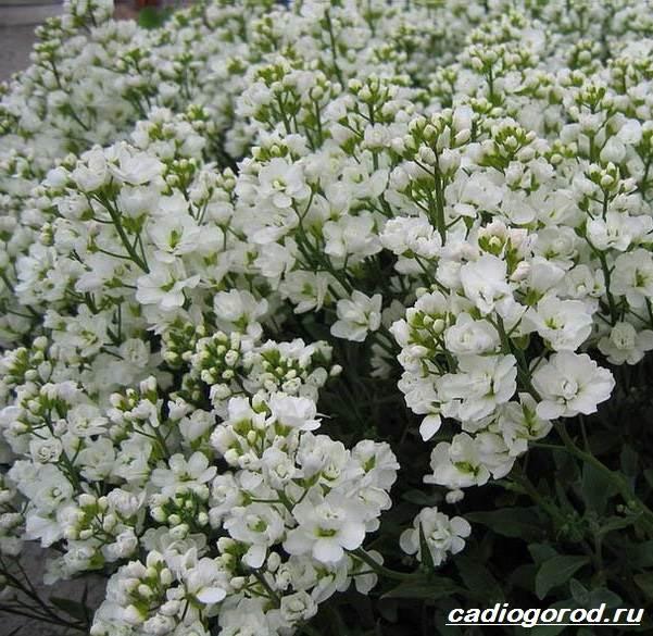 Арабис-цветок-Описание-особенности-виды-и-уход-за-арабисом-3