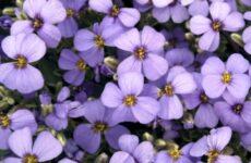Арабис цветок. Описание, особенности, виды и уход за арабисом