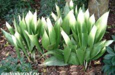 Аспидистра цветок. Описание, особенности, виды и уход за аспидистрой