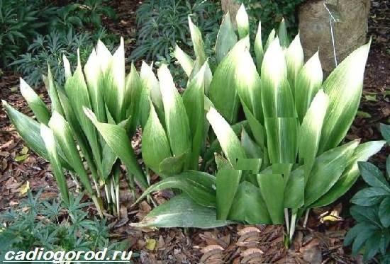 Аспидистра-цветок-Описание-особенности-виды-и-уход-за-аспидастрой-10