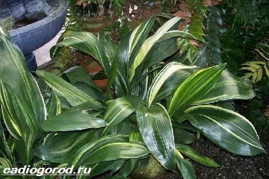 Аспидистра-цветок-Описание-особенности-виды-и-уход-за-аспидастрой-4