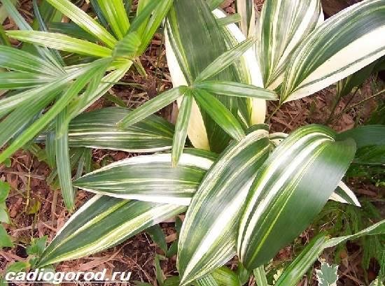 Аспидистра-цветок-Описание-особенности-виды-и-уход-за-аспидастрой-7