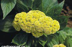 Целозия цветы. Описание, особенности, виды и уход за целозией