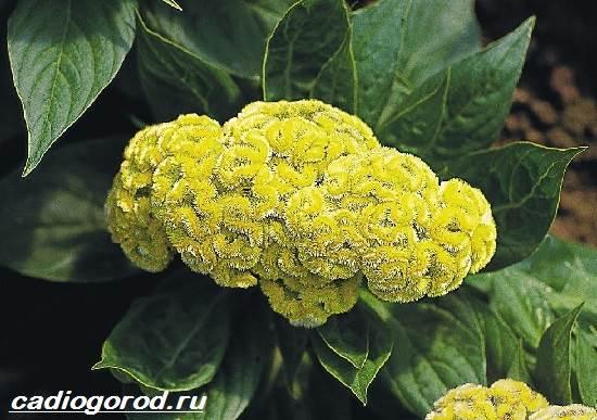 Целозия-цветы-Описание-особенности-виды-и-уход-за-целозией-1