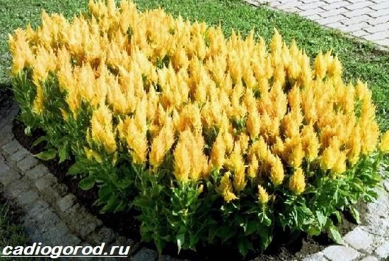 Целозия-цветы-Описание-особенности-виды-и-уход-за-целозией-10
