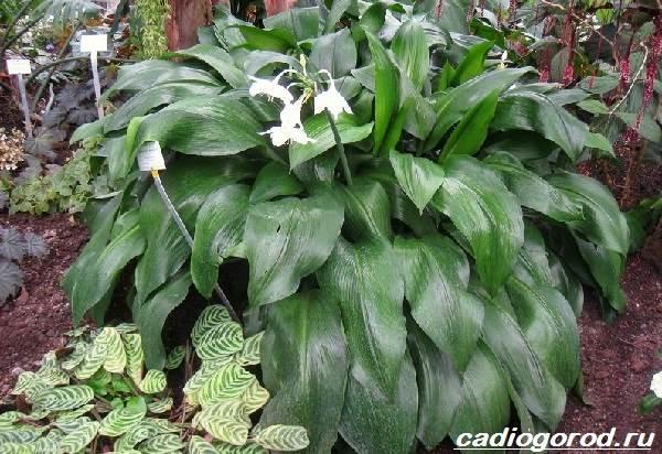 Эухарис-цветок-Описание-особенности-виды-и-уход-за-эухарисом-12