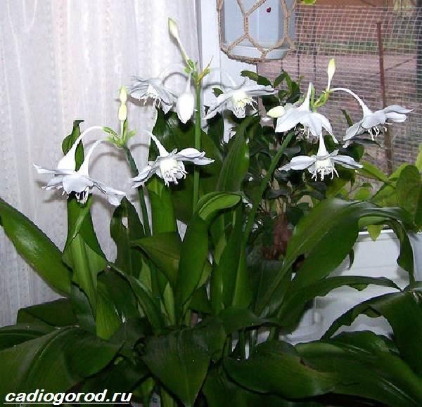 Эухарис-цветок-Описание-особенности-виды-и-уход-за-эухарисом-5