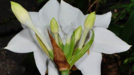 Эухарис цветок. Описание, особенности, виды и уход за эухарисом