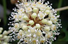 Фатсия цветок. Описание, особенности, виды и уход за фатсией