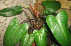 Филодендрон цветок. Описание, особенности, виды и уход за филодендроном