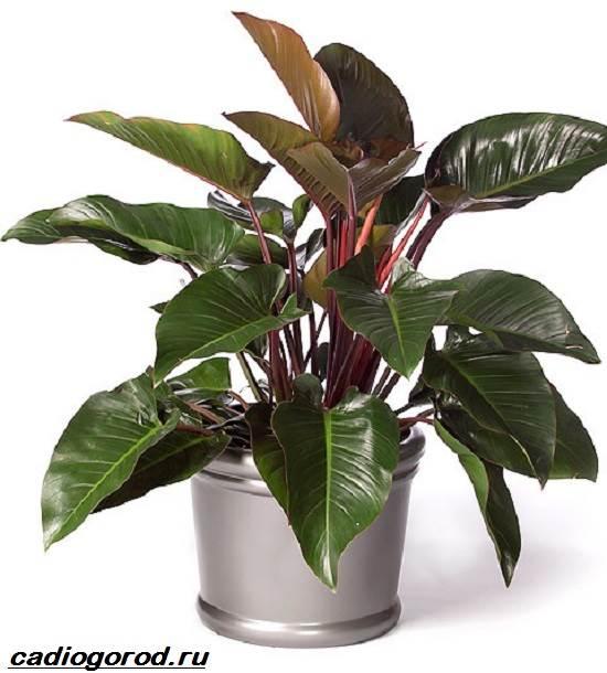 Филодендрон-цветок-Описание-особенности-виды-и-уход-за-филодендроном-7