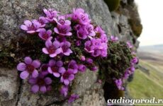 Камнеломка цветок. Описание, особенности, виды и уход за камнеломкой