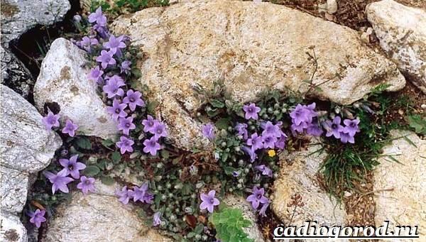 Камнеломка-цветок-Описание-особенности-виды-и-уход-за-камнеломкой-10