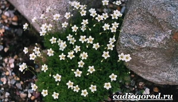 Камнеломка-цветок-Описание-особенности-виды-и-уход-за-камнеломкой-2