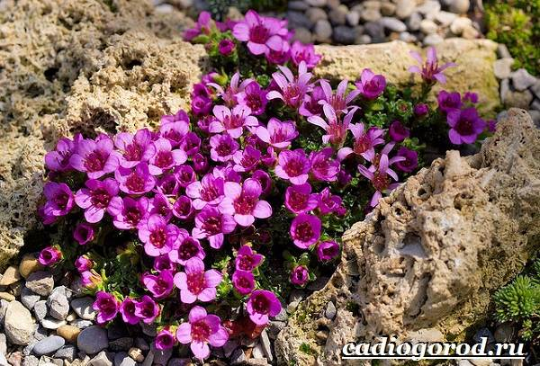 Камнеломка-цветок-Описание-особенности-виды-и-уход-за-камнеломкой-21