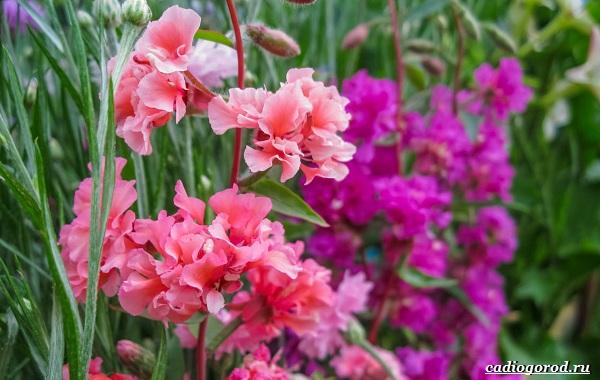 Кларкия-цветы-Описание-особенности-виды-и-уход-за-кларкией-18