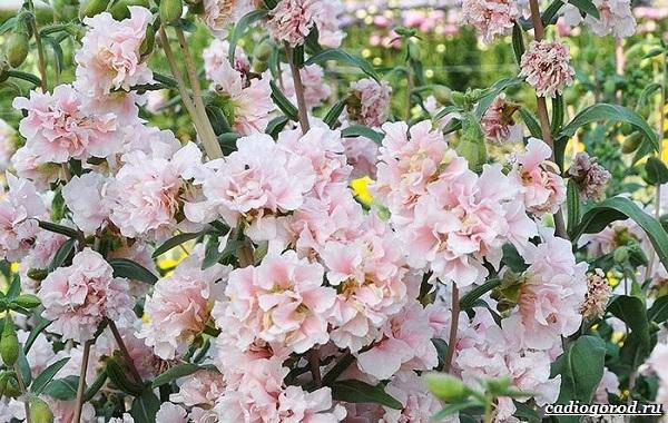 Кларкия-цветы-Описание-особенности-виды-и-уход-за-кларкией-20
