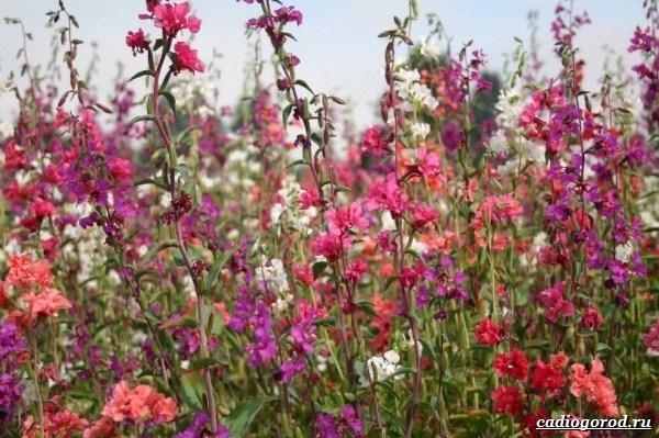Кларкия-цветы-Описание-особенности-виды-и-уход-за-кларкией-21