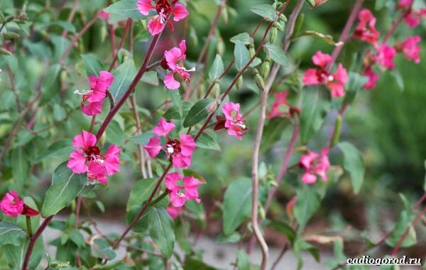 Кларкия-цветы-Описание-особенности-виды-и-уход-за-кларкией-23