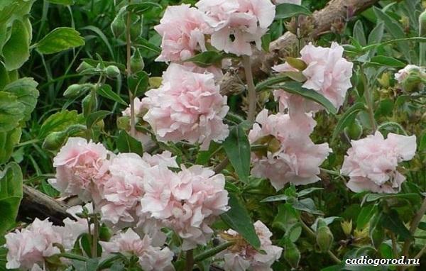 Кларкия-цветы-Описание-особенности-виды-и-уход-за-кларкией-24
