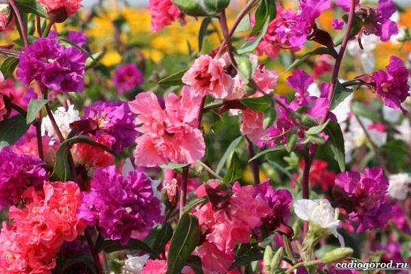 Кларкия-цветы-Описание-особенности-виды-и-уход-за-кларкией-25