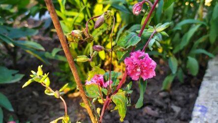 Кларкия цветы. Описание, особенности, виды и уход за кларкией