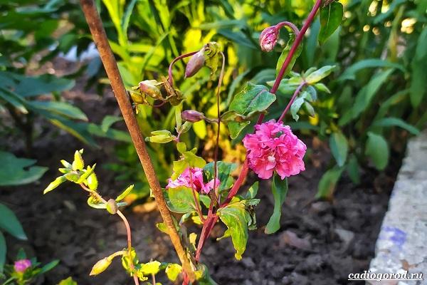 Кларкия-цветы-Описание-особенности-виды-и-уход-за-кларкией-27