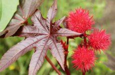 Клещевина растение. Описание, особенности, виды и уход за клещевиной