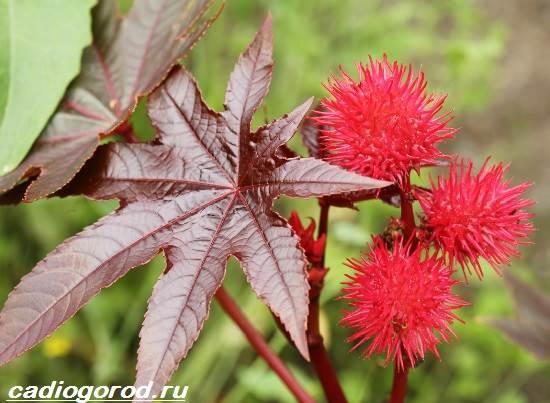 Клещевина-растение-Описание-особенности-виды-и-уход-за-клещевиной-2