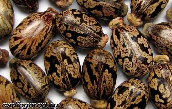 Клещевина-растение-Описание-особенности-виды-и-уход-за-клещевиной-3
