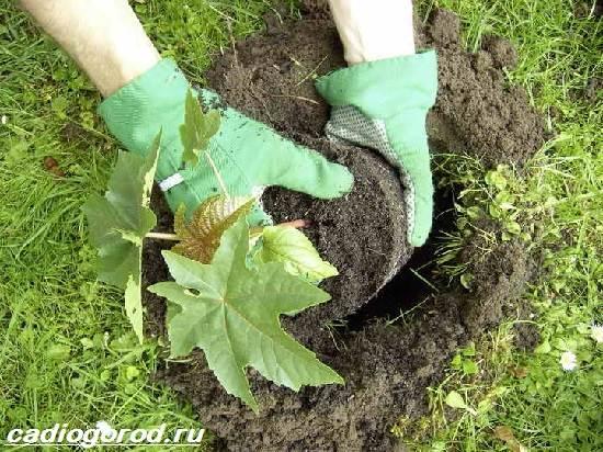 Клещевина-растение-Описание-особенности-виды-и-уход-за-клещевиной-4
