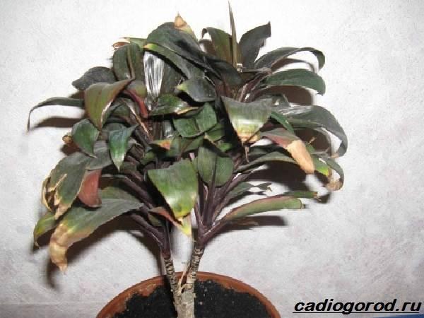 Кордилина-цветок-Описание-особенности-виды-и-уход-за-кордилиной-9