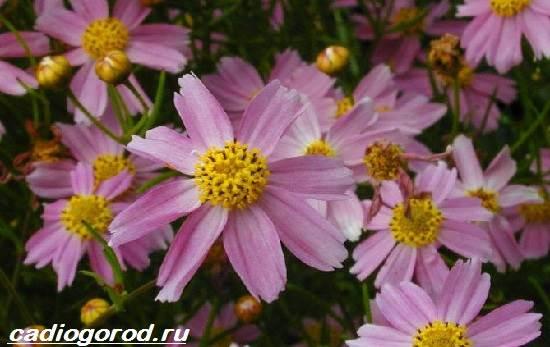 Кореопсис-цветок-Описание-особенности-виды-и-уход-за-кореопсисом-10