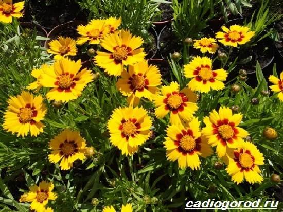 Кореопсис-цветок-Описание-особенности-виды-и-уход-за-кореопсисом-4