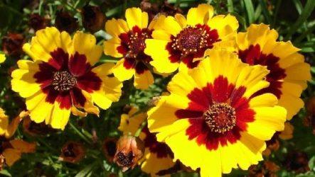 Кореопсис цветок. Описание, особенности, виды и уход за кореопсисом