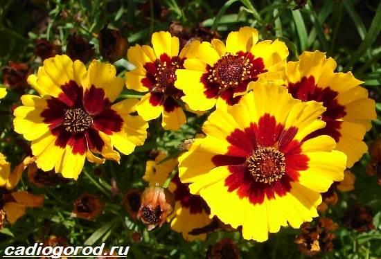 Кореопсис-цветок-Описание-особенности-виды-и-уход-за-кореопсисом-5