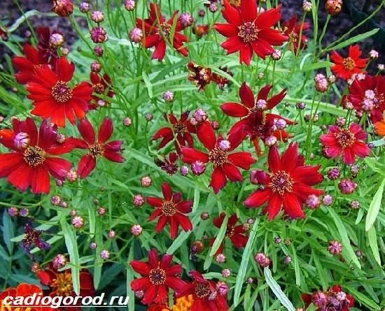 Кореопсис-цветок-Описание-особенности-виды-и-уход-за-кореопсисом-6