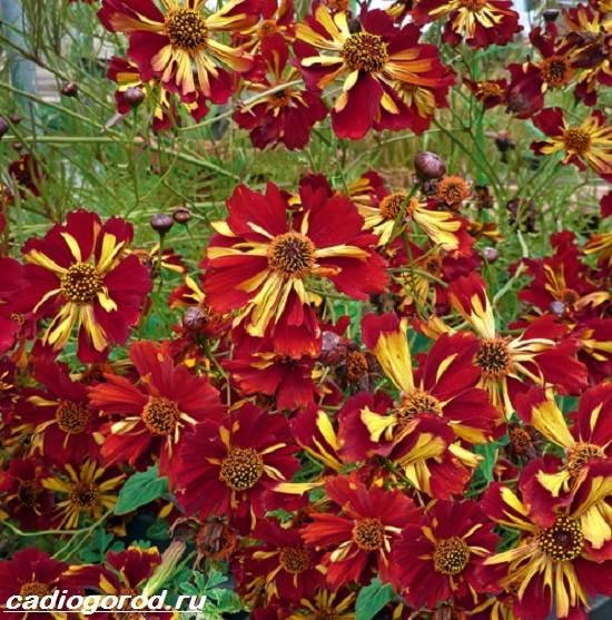Кореопсис-цветок-Описание-особенности-виды-и-уход-за-кореопсисом-7