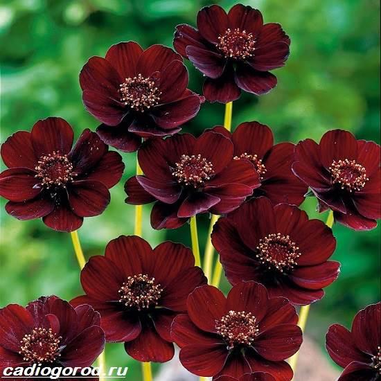 Космея-цветок-Описание-особенности-виды-и-уход-за-космеей-1