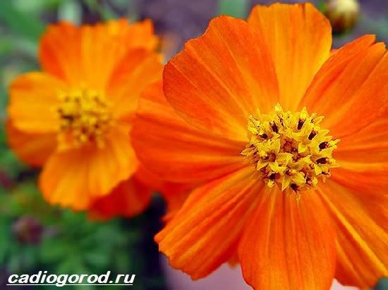 Космея-цветок-Описание-особенности-виды-и-уход-за-космеей-13
