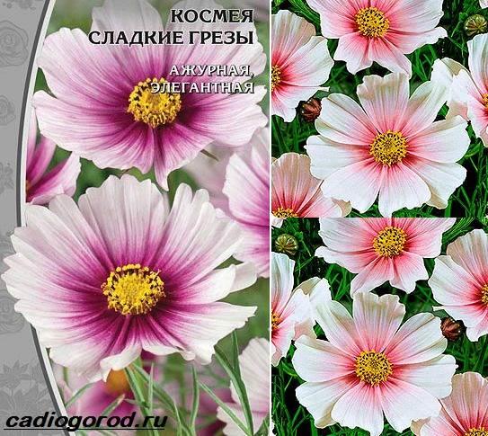 Космея-цветок-Описание-особенности-виды-и-уход-за-космеей-14
