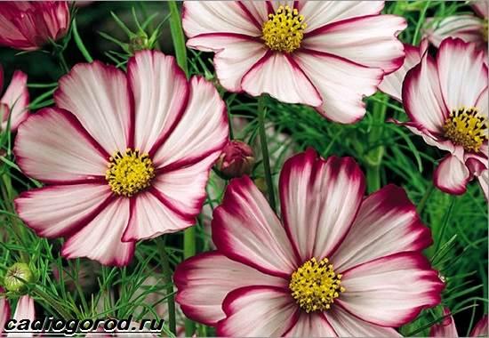 Космея-цветок-Описание-особенности-виды-и-уход-за-космеей-16