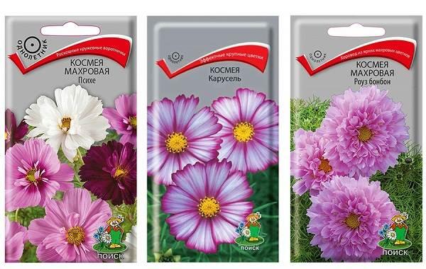Космея-цветок-Описание-особенности-виды-и-уход-за-космеей-19