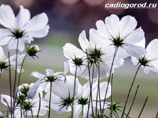Космея-цветок-Описание-особенности-виды-и-уход-за-космеей-2