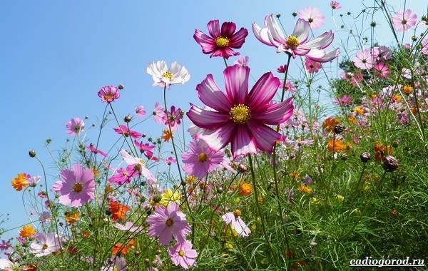 Космея-цветок-Описание-особенности-виды-и-уход-за-космеей-21